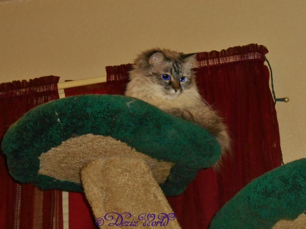 Dezi watches the kitten from atop the cat tree
