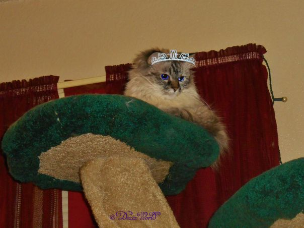 Dezi the Queen laying on the cat tree sporting her crown