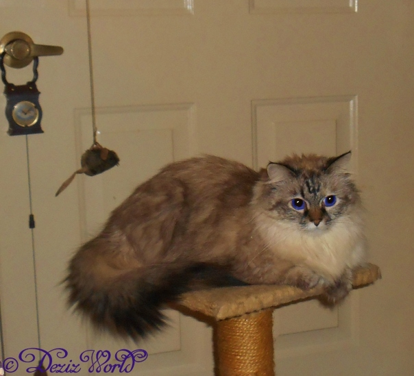 Dezi sits atop the small cat climber