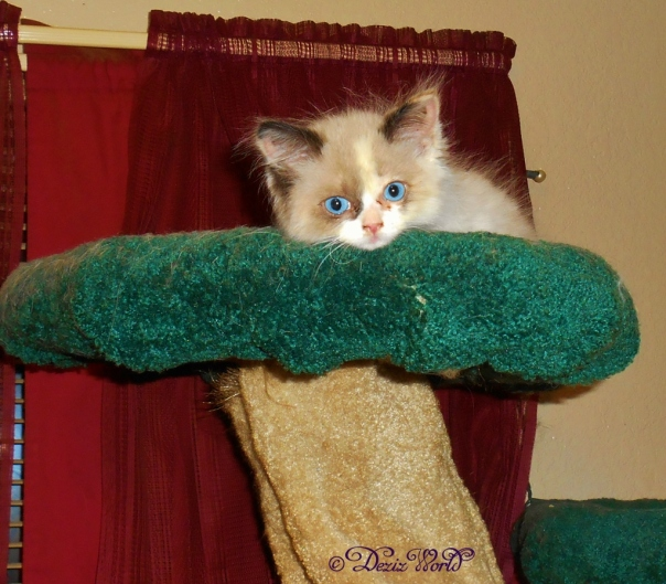 Raena atop the Liberty Cat Tree