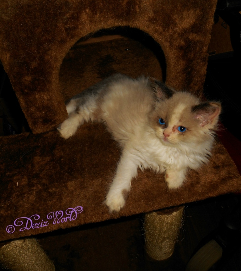 Raena on brown cat tree