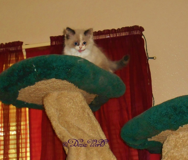 Raena licking lips atop the Liberty cat tree