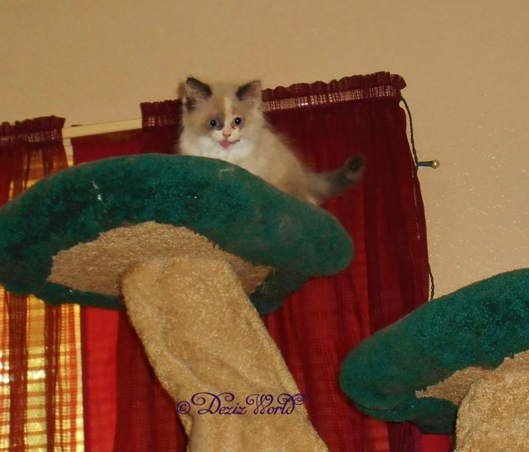 Raena licking lips atop the Liberty cat tree