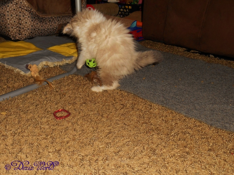 RaenaBelle pounces on a Jackson Galaxy rubber ball