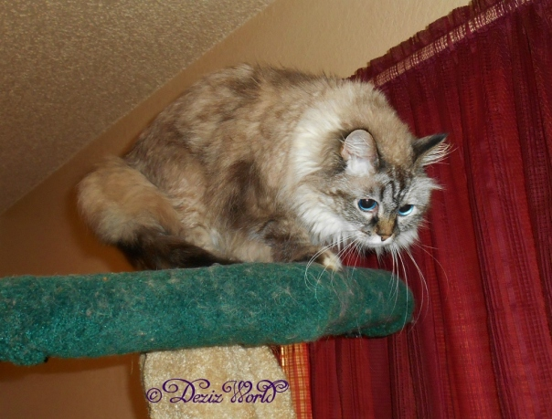 Dezi leaves the top of the Liberty cat tree