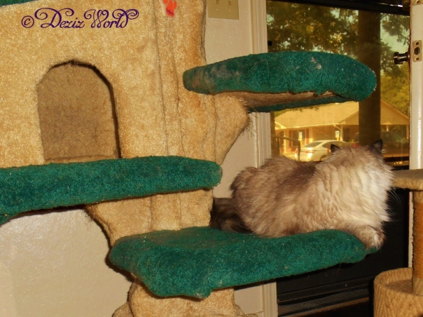 Dezi looks outside the front door from the Liberty cat tree