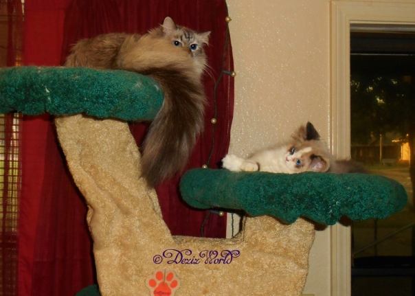 Dezi and RaenaBelle on the Liberty cat tree