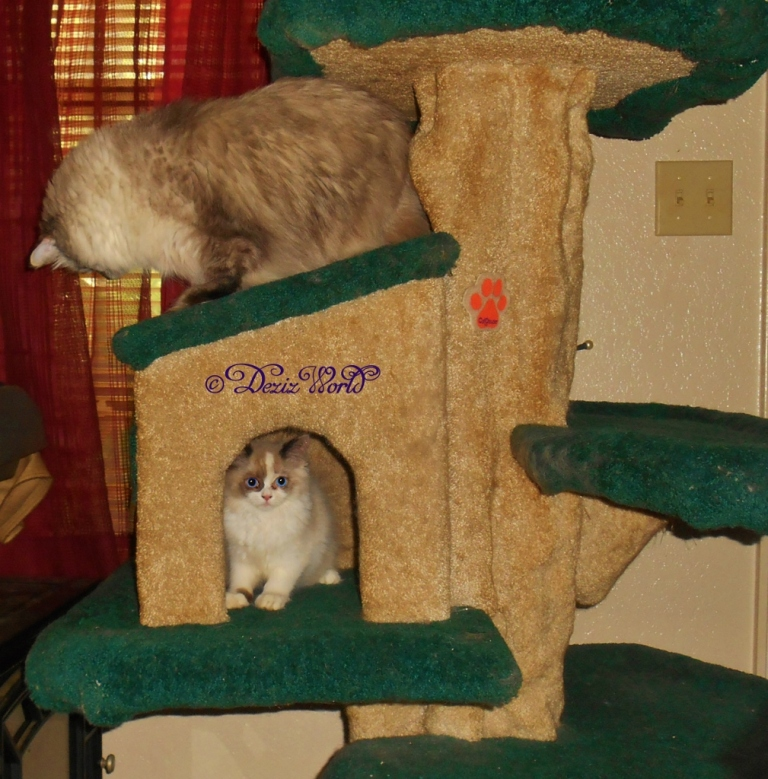 Dezi on top of cat tree house looking for Raena inside the cat tree house