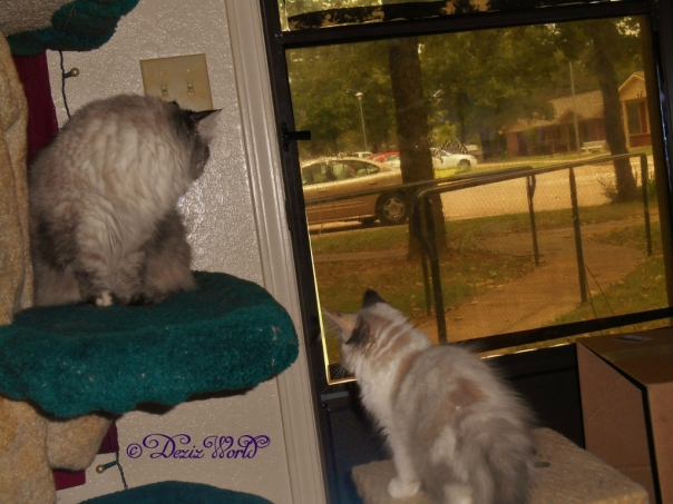Dezi looking out the front door from the cat tree while Raena sits on the small oerch watching