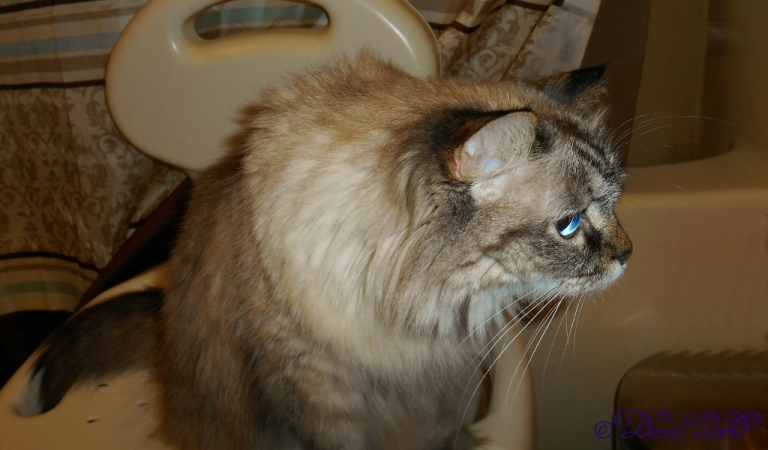 Dezi on shower chair watching Raena use the litter box
