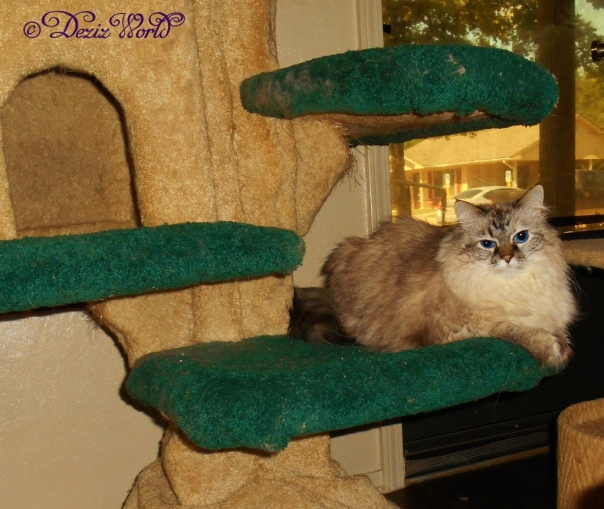 Dezi looks at the camera from the Liberty cat tree