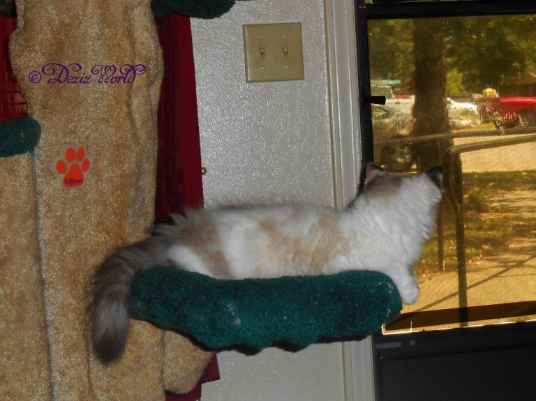 Raena looks outside the front door from the Liberty cat tree