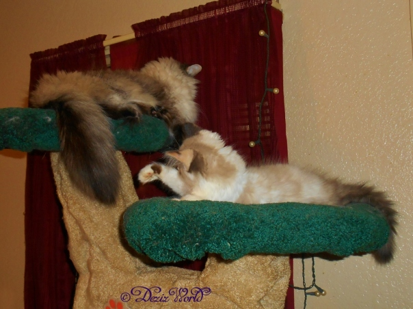Raena grabbing for Dezi's tail on the Liberty cat tree.