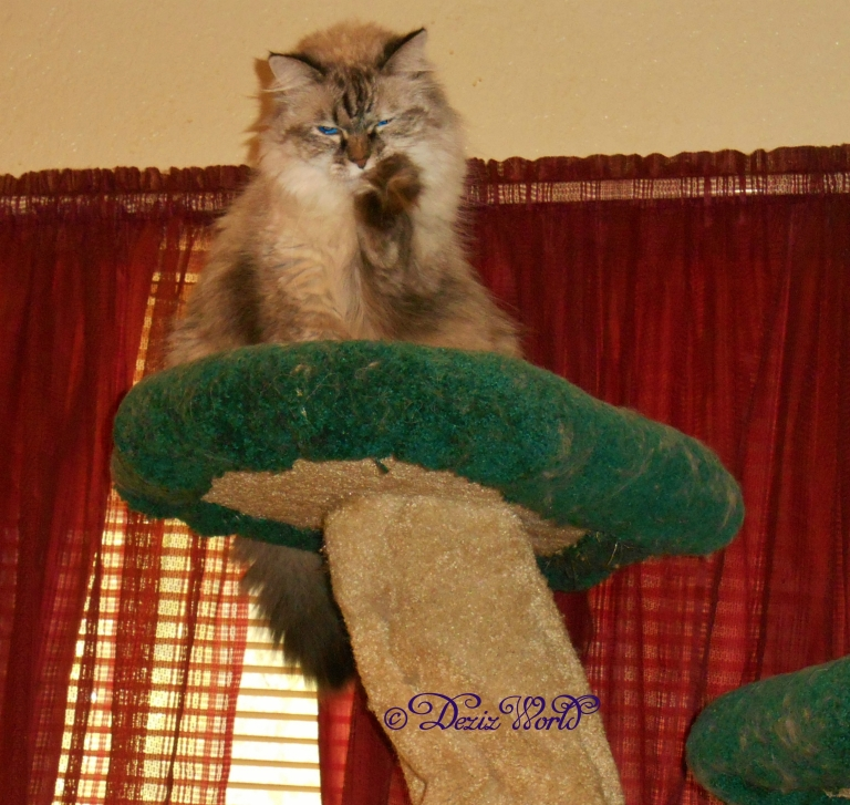 Dezi bathing on top of the Liberty cat tree