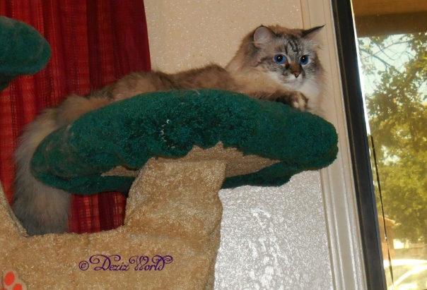 Dezi hanging in the Liberty cat tree