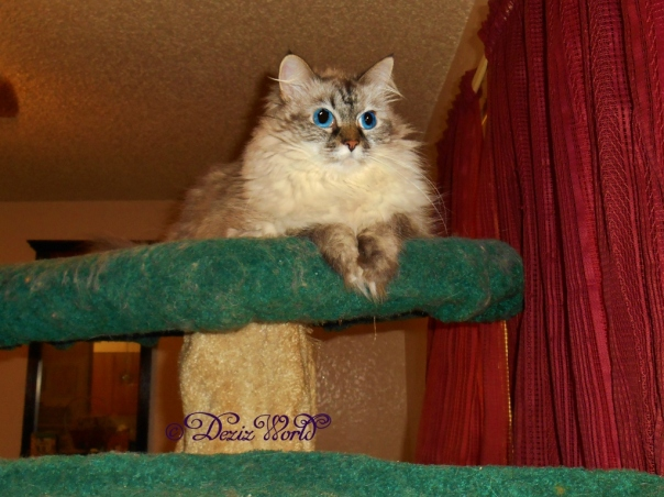 Dezi atop the cat tree