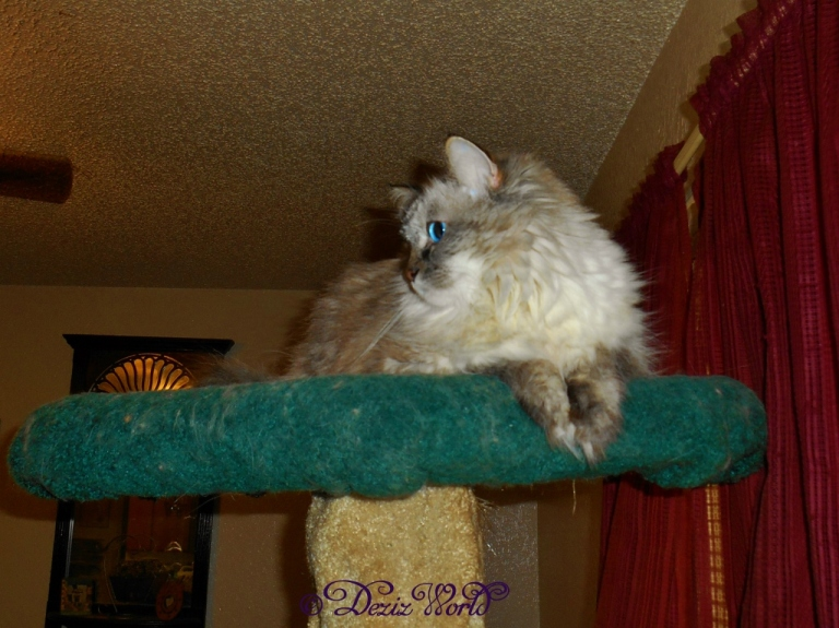 Dezi looking around on the cat tree
