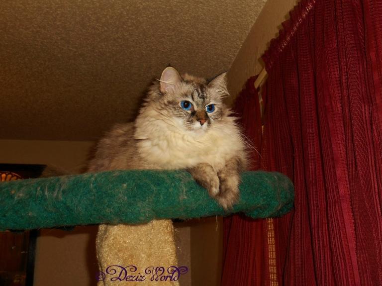Dezi poses on the cat tree