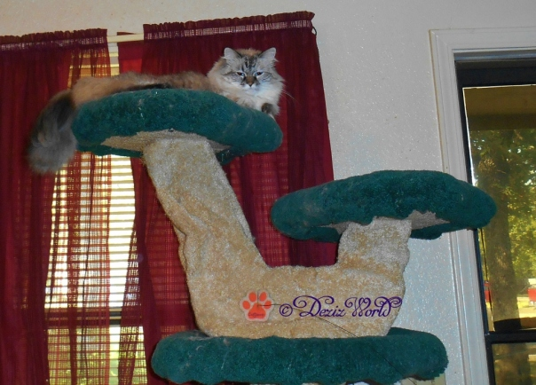 Dezi laying on the liberty cat tree