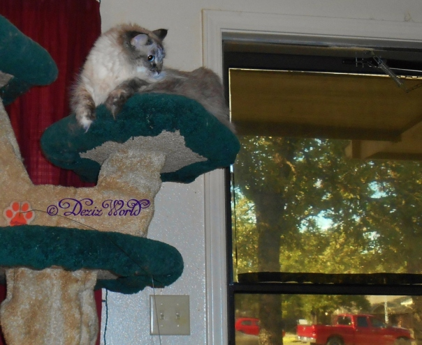 Dezi atop the Liberty cat tree overseeing the search for Raena