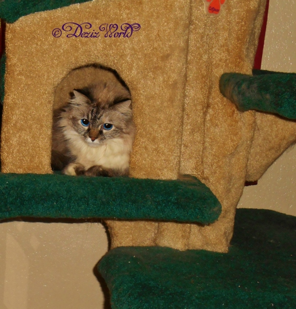 Dezi looks out from the house on the Liberty cat tree