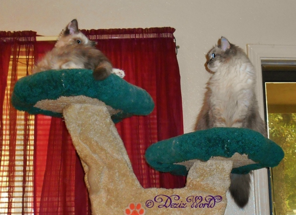 Dezi and Raena look at each other from the Liberty cat tree