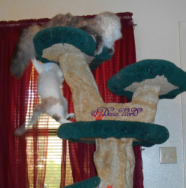Raena hanging on the Liberty cat tree playing whacky paw with Dezi
