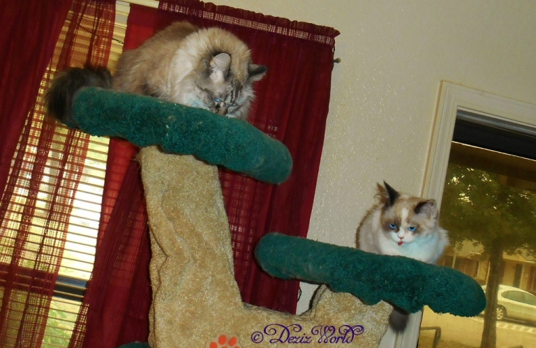Dezi and Raena eating treats on the liberty cat tree