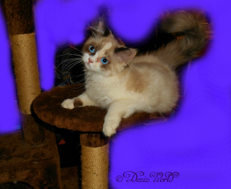 Raena contorts on the brown cat tree
