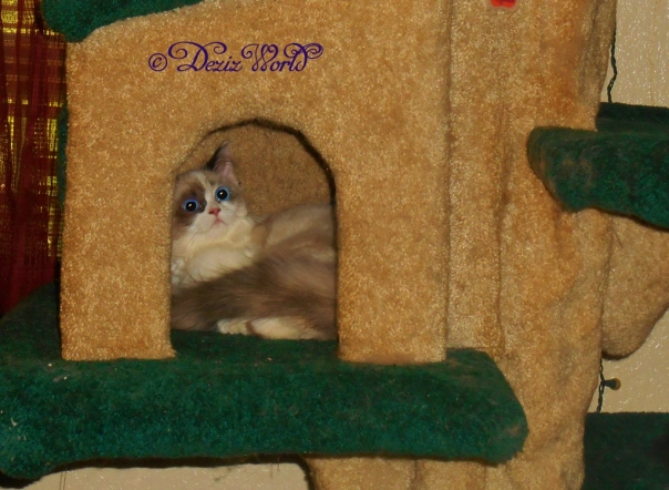 Raena inside the house on the Liberty Cat tree