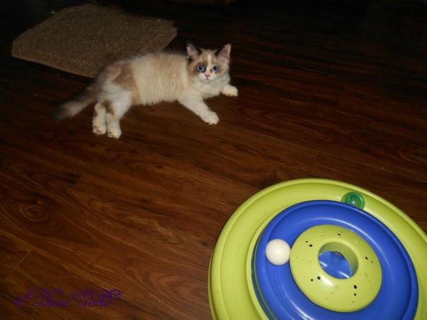 Raena, Ragdoll Kitten, rests