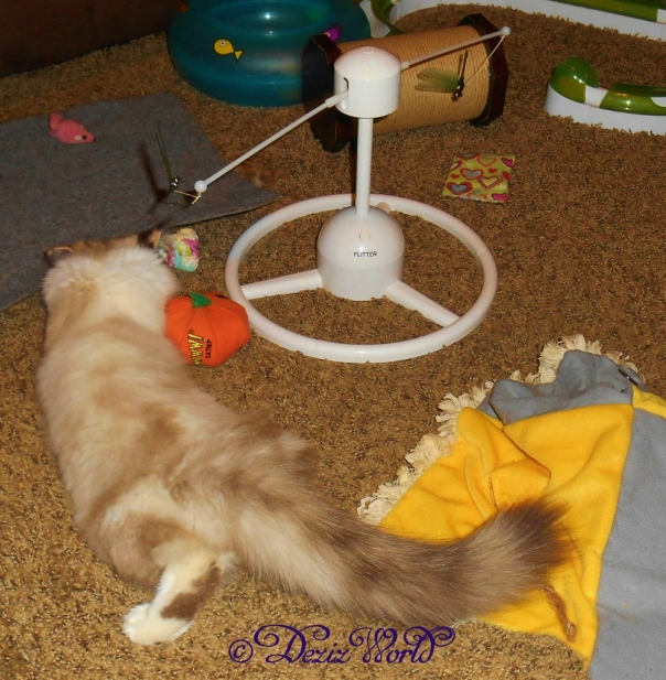Raena playing with the Petsafe toys, Flitter