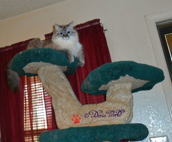 Dezi overlooks her realkm from the top of the Liberty cat tree