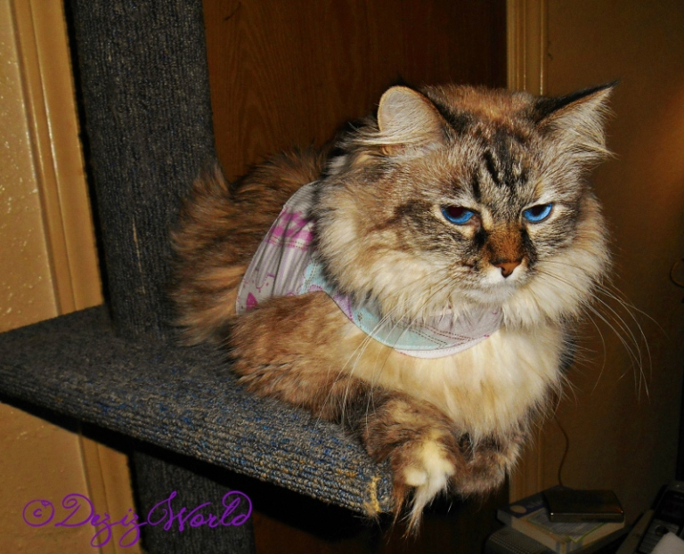 Dezi in harness laying on cat perch