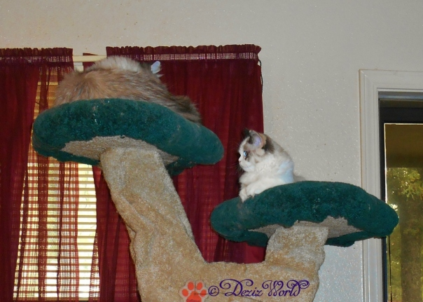 Dezi and Raena hanging on the Liberty cat tree