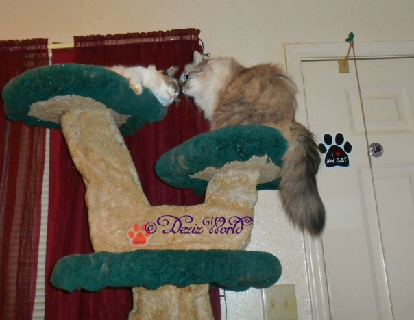 Dezi cares for Raena atop the Liberty cat tree
