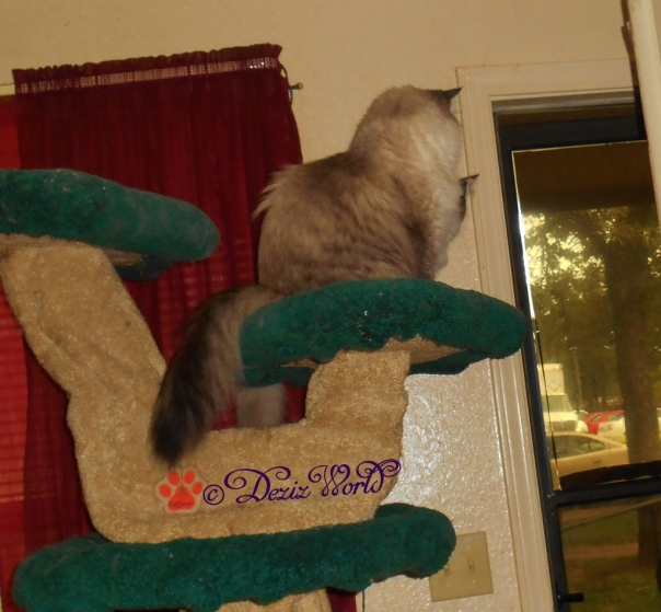 Dezi and RAena look out the front door from the same ledge on the Liberty cat tree