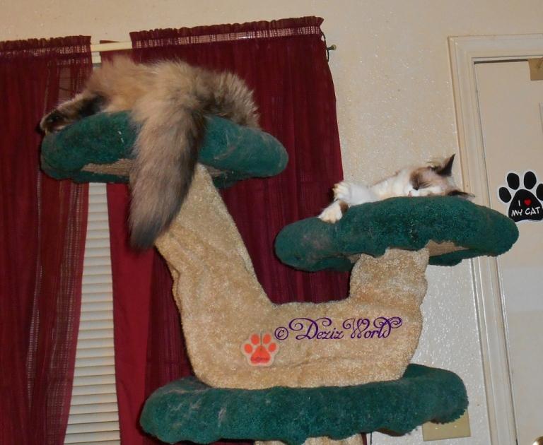 Dezi and Raena sleep on the lLiberty cat tree