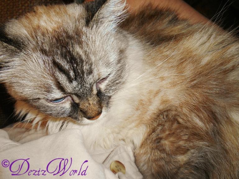 Dezi l;ays in lap and sleeps