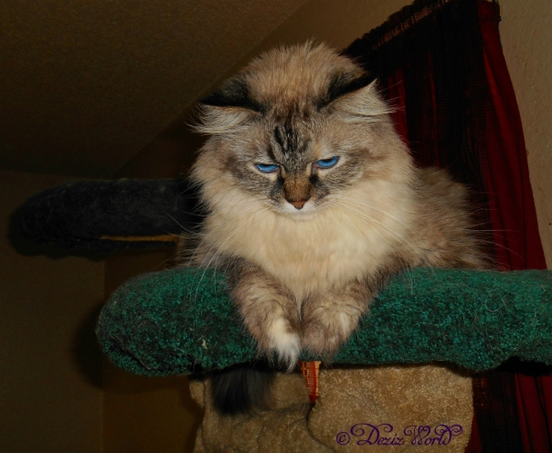 Dezi on the cat tree looking down