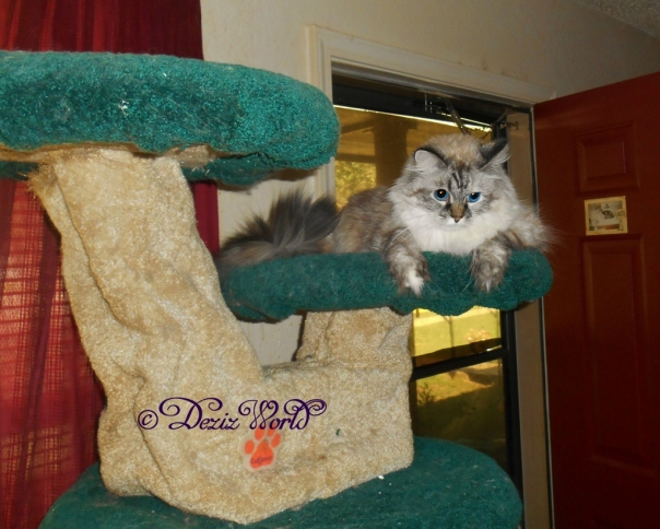 Dezi on cat tree