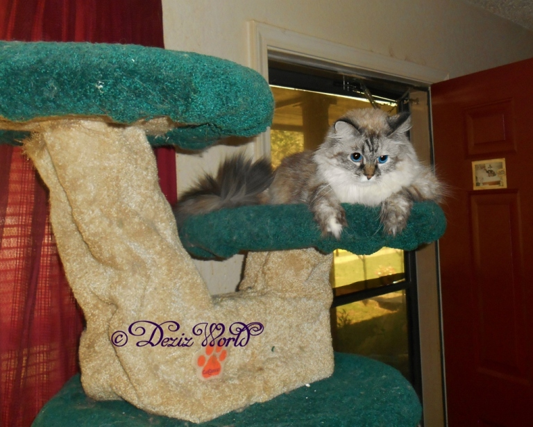 Dezi on cat tree