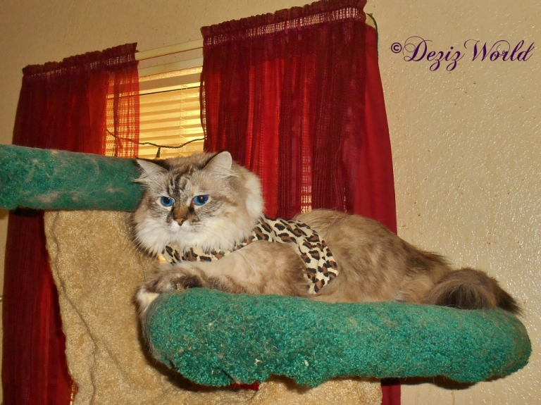 Dezi laying in cat tree in new harness