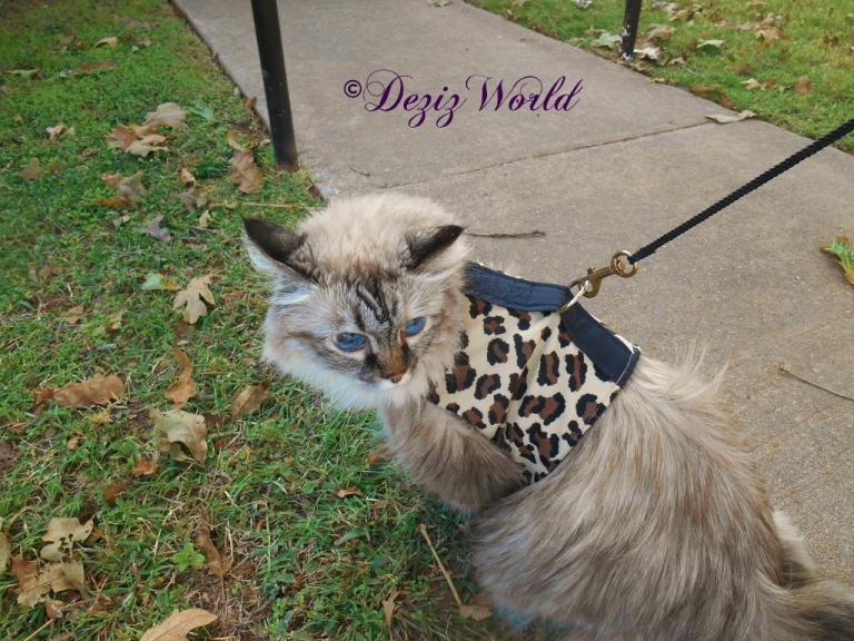 Dezi outside in walking harness