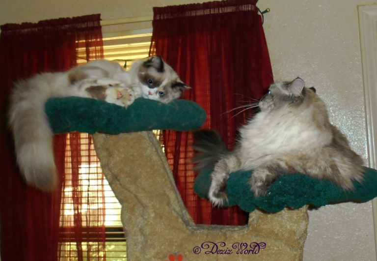 Dezi and Raena laying on the Liberty Cat Tree