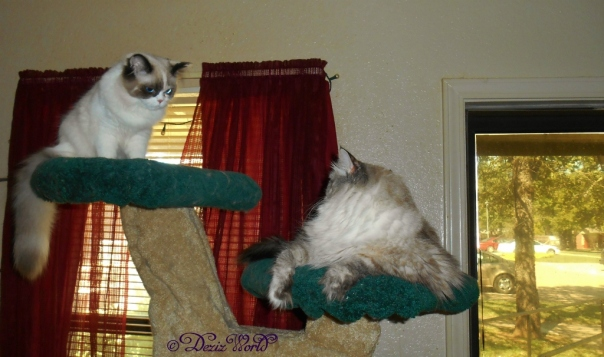 Dezi and Raena on cat tree