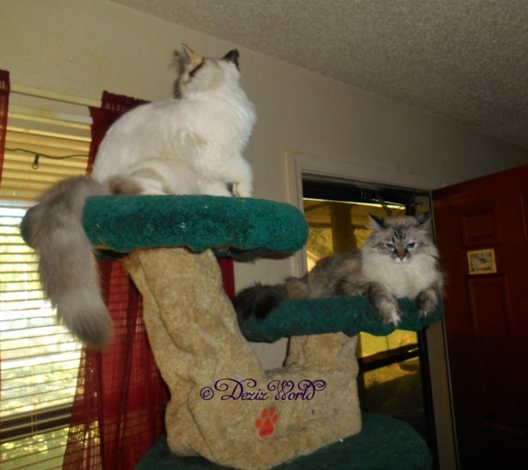 Dezi and Raena on cat tree