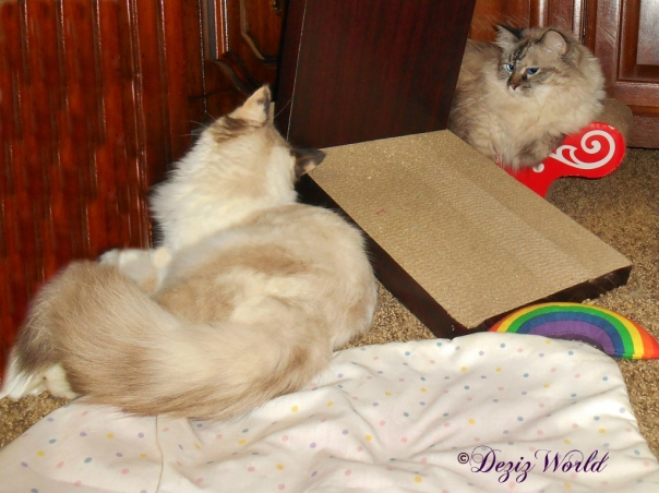 Dezi and Raena lay on cat scratchers