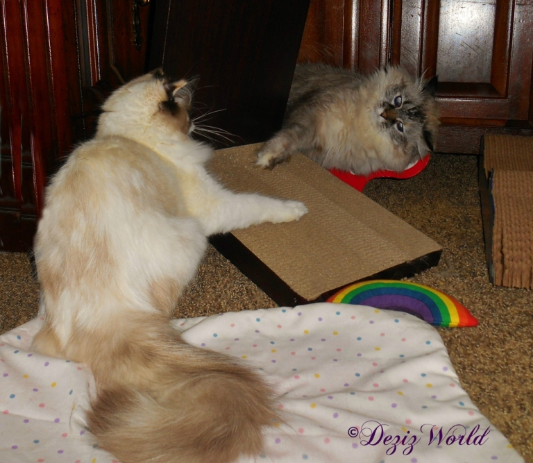 Dezi and Raena chatting over the cat scratchers