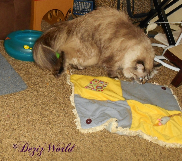 Dezi sniffing the catnip mat and toys